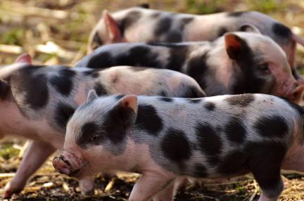 AIとIoTが子豚を圧死から守る 養豚業に生かされる中国企業の取り組み