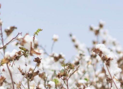 綿花の生産量は世界首位 中国、AIとIoT技術で産業チェーンの効率化をサポート